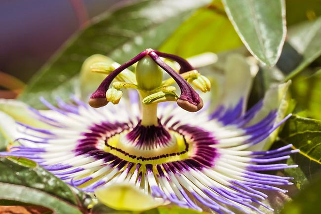 passion-flower-herbal-sleep-aid