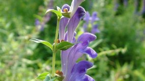 Can Taking Skullcap Help You Sleep Better?